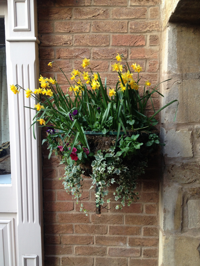 Daffodil Baskets in The Maltings